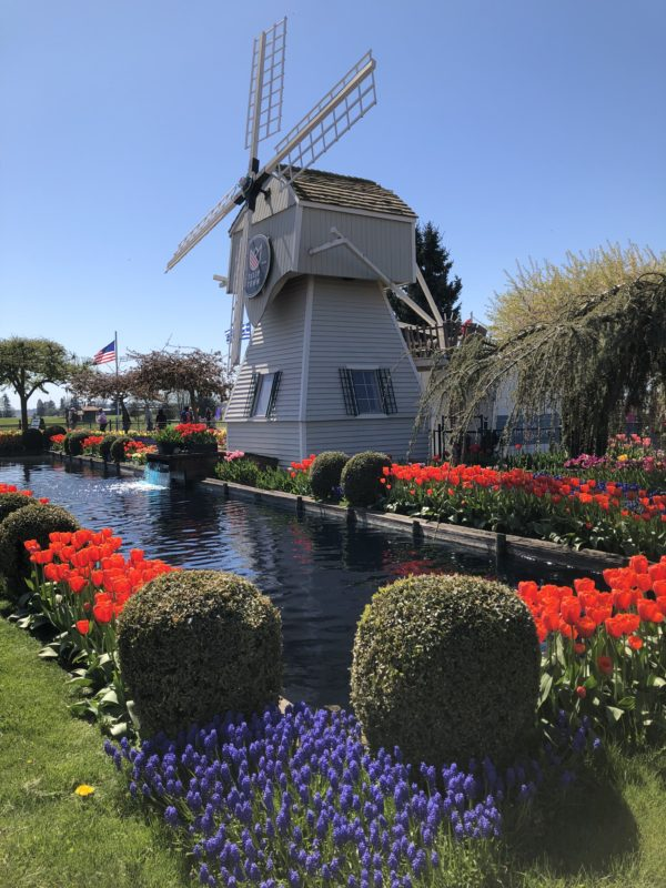 windmill and tulips in Tulip Town, Skagit Valley